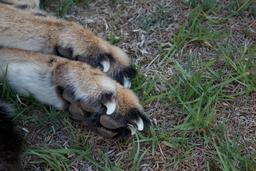 Pattes de gépard. Source : http://data.abuledu.org/URI/52d6999e-pattes-de-gepard