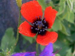 Pavot des moissons. Source : http://data.abuledu.org/URI/505cadbf-pavot-des-moissons