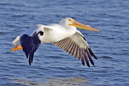 Pélican blanc en plein vol. Source : http://data.abuledu.org/URI/47f5f8d6-pelican-blanc-en-plein-vol