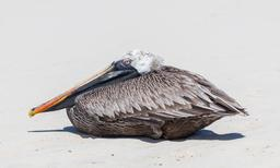 Pélican des Galápagos. Source : http://data.abuledu.org/URI/57013d12-pelican-des-gal-pagos