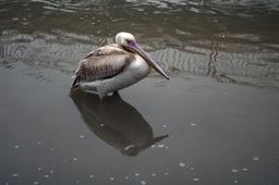 Pélican gris en Turquie. Source : http://data.abuledu.org/URI/54ccff2a-pelican-gris-en-turquie