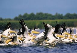 Pélicans dans le delta du Danube. Source : http://data.abuledu.org/URI/52d56a0d-pelicans-dans-le-delta-du-danube