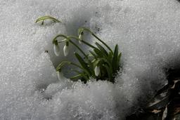 Perce-neige sous la neige. Source : http://data.abuledu.org/URI/53ed4b75-perce-neige-sous-la-neige