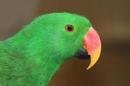 Perroquet grand Eclectus. Source : http://data.abuledu.org/URI/52d16523-perroquet-grand-eclectus