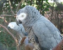 Perroquet Gris du Gabon. Source : http://data.abuledu.org/URI/5045079d-perroquet-gris-du-gabon