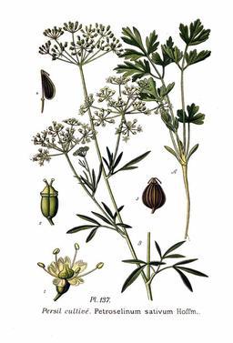 Persil cultivé. Source : http://data.abuledu.org/URI/504fb443-persil-cultive