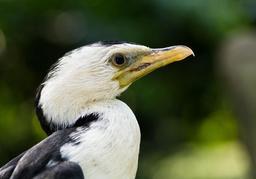Petit cormoran. Source : http://data.abuledu.org/URI/54cffd0e-petit-cormoran