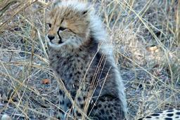 Petit guépard. Source : http://data.abuledu.org/URI/52d68dd7-petit-guepard