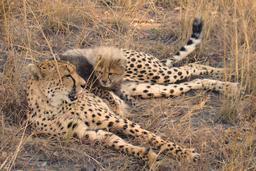 Petit guépard et sa mère. Source : http://data.abuledu.org/URI/52d690e2-petit-guepard-et-sa-mere