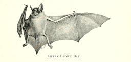 Petite chauve-souris brune. Source : http://data.abuledu.org/URI/5880f82b-petite-chauve-souris-brune