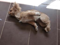 Petite chienne en train de jouer. Source : http://data.abuledu.org/URI/58c5d1d9-petite-chienne-en-train-de-jouer