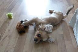 Petite chienne en train de jouer. Source : http://data.abuledu.org/URI/58c5d1fa-petite-chienne-en-train-de-jouer