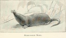 Petite taupe nord-américaine. Source : http://data.abuledu.org/URI/5880fa9e-petite-taupe-nord-americaine