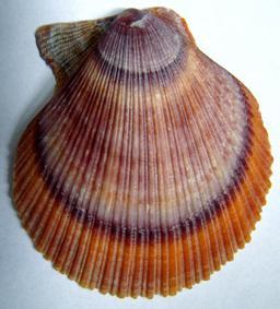 Pétoncle. Source : http://data.abuledu.org/URI/510be3f3-petoncle