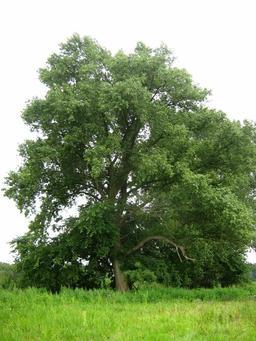 Peuplier noir en été. Source : http://data.abuledu.org/URI/509834e9-peuplier-noir-en-ete