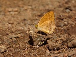 Phalanta en Inde. Source : http://data.abuledu.org/URI/55087b44-phalanta-en-inde