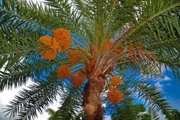 Photographie de palmier dattier. Source : http://data.abuledu.org/URI/50df1bdc-photographie-de-palmier-dattier