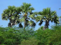 Photographie de trois palmiers. Source : http://data.abuledu.org/URI/50df1da8-photographie-de-trois-palmiers
