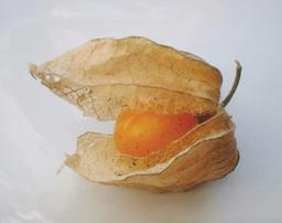 Physalis. Source : http://data.abuledu.org/URI/5113824f-physalis