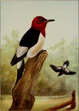 Pic à tête rouge. Source : http://data.abuledu.org/URI/58815d01-pic-a-tete-rouge