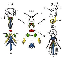 Pièces buccales des insectes. Source : http://data.abuledu.org/URI/5413f09e-pieces-buccales-des-insectes