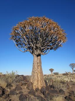 Pied d'aloès en Namibie. Source : http://data.abuledu.org/URI/52d961f4-pied-d-aloes-en-namibie