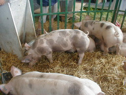 Porc piétrain. Source : http://data.abuledu.org/URI/504f3e42-pietrain-porc