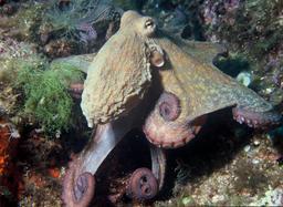 Pieuvre. Source : http://data.abuledu.org/URI/51024ef1-pieuvre