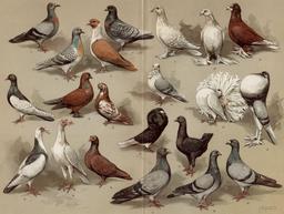 Pigeons domestiques. Source : http://data.abuledu.org/URI/55eab5cc-pigeons-domestiques