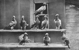 Pigeons voyageurs. Source : http://data.abuledu.org/URI/5040f78c-pigeons-voyageurs