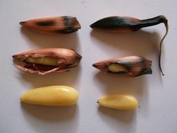 Pignons d'araucaria du Chili grillés. Source : http://data.abuledu.org/URI/55428622-pignons-d-araucaria-du-chili-grilles