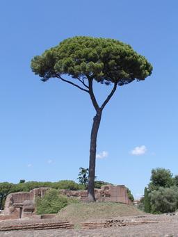 Pin parasol à Rome. Source : http://data.abuledu.org/URI/539c99bd-pin-parasol-a-rome