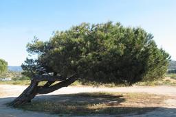 Pin parasol couché par le vent en Corse. Source : http://data.abuledu.org/URI/539c9ad6-pin-parasol-couche-par-le-vent-en-corse