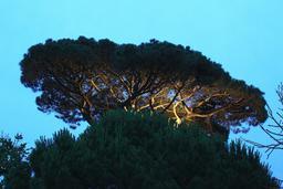 Pin parasol le soir à La Rochelle. Source : http://data.abuledu.org/URI/58262613-pin-parasol-le-soir-a-la-rochelle