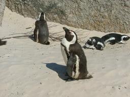 Pingouins. Source : http://data.abuledu.org/URI/47f5cf9f-pingouins-le-cap-jpg