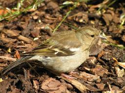 Pinson femelle préparant son nid. Source : http://data.abuledu.org/URI/52dc50fa-pinson-femelle-preparant-son-nid