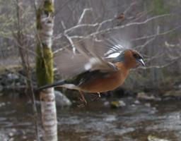 Pinson mâle en vol. Source : http://data.abuledu.org/URI/51fcebf4-pinson-male-en-vol
