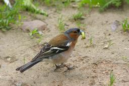 Pinson mangeant une chenille. Source : http://data.abuledu.org/URI/51fbf3b2-pinson-mangeant-une-chenille