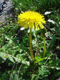 Pissenlit. Source : http://data.abuledu.org/URI/50991f72-pissenlit