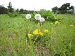 Pissenlits en fleurs. Source : http://data.abuledu.org/URI/514cb279-pissenlits-en-fleurs