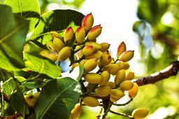Pistaches sur l'arbre. Source : http://data.abuledu.org/URI/534a68d0-pistaches-sur-l-arbre-