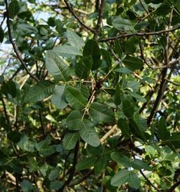 Pistacia vera de 1702 au Jardin des Plantes. Source : http://data.abuledu.org/URI/534a709c-pistacia-vera-de-1702-au-jardin-des-plantes