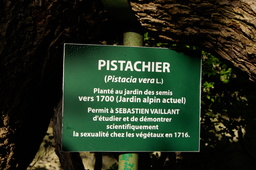 Pistacia vera en 1702. Source : http://data.abuledu.org/URI/534a6fbf-pistacia-vera-en-1702