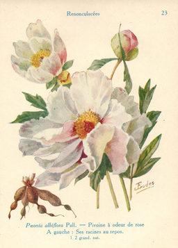 Pivoines à odeur de roses. Source : http://data.abuledu.org/URI/53adae2d-pivoines-a-odeur-de-roses