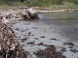 Plage à posidonies de Macinaggio. Source : http://data.abuledu.org/URI/51d207a1-plage-a-posidonies-de-macinaggio