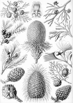 Planche botanique Coniferae en 1904. Source : http://data.abuledu.org/URI/535d14a6-planche-botanique-coniferae-en-1909
