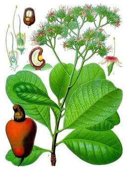 Planche botanique d'Anacardium occidentale. Source : http://data.abuledu.org/URI/5209e95a-planche-botanique-d-anacardium-occidentale