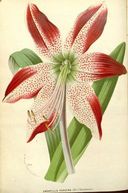 Planche botanique d'Hippeastrum pardinum. Source : http://data.abuledu.org/URI/55089512-planche-botanique-d-hippeastrum-pardinum