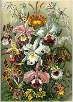 Planche botanique d'orchidées en 1904. Source : http://data.abuledu.org/URI/535d6af6-planche-botanique-d-orchidees-en-1904