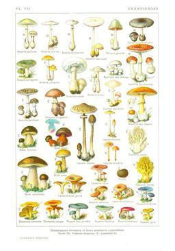 Planche botanique de champignons. Source : http://data.abuledu.org/URI/532d51d0-planche-botanique-de-champignons